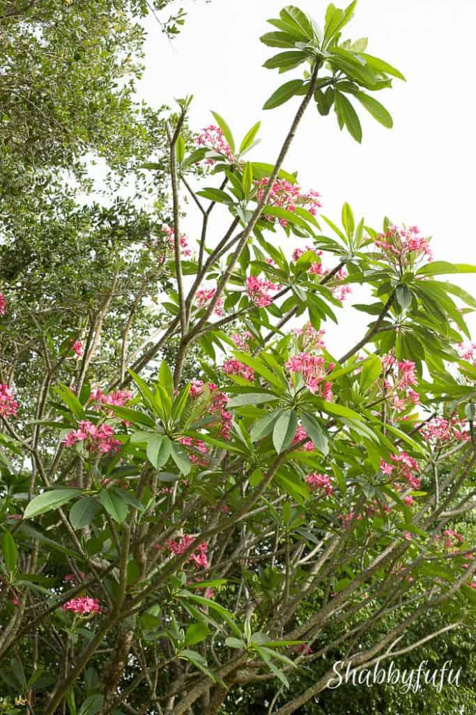 large pink plumeria tree