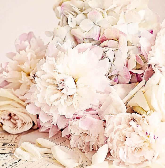 blush peony petals art print