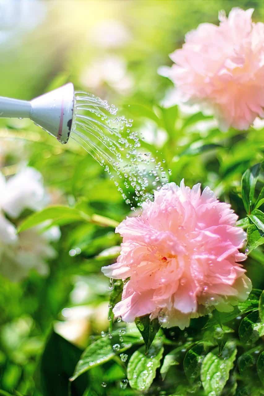 beginning gardener watering-peonies-gardening-tips