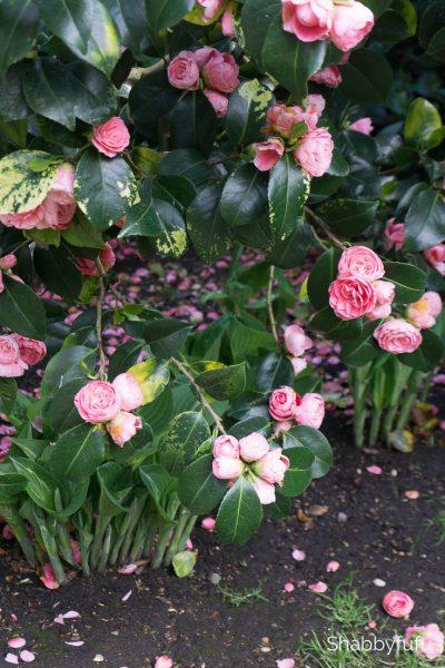 kensington gardens camellia bush shabbyfufu