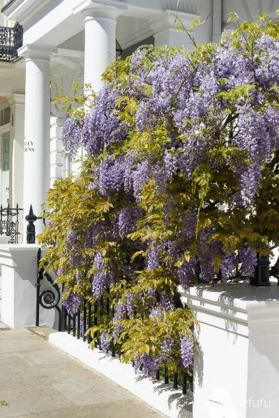 london notting hill wisteria
