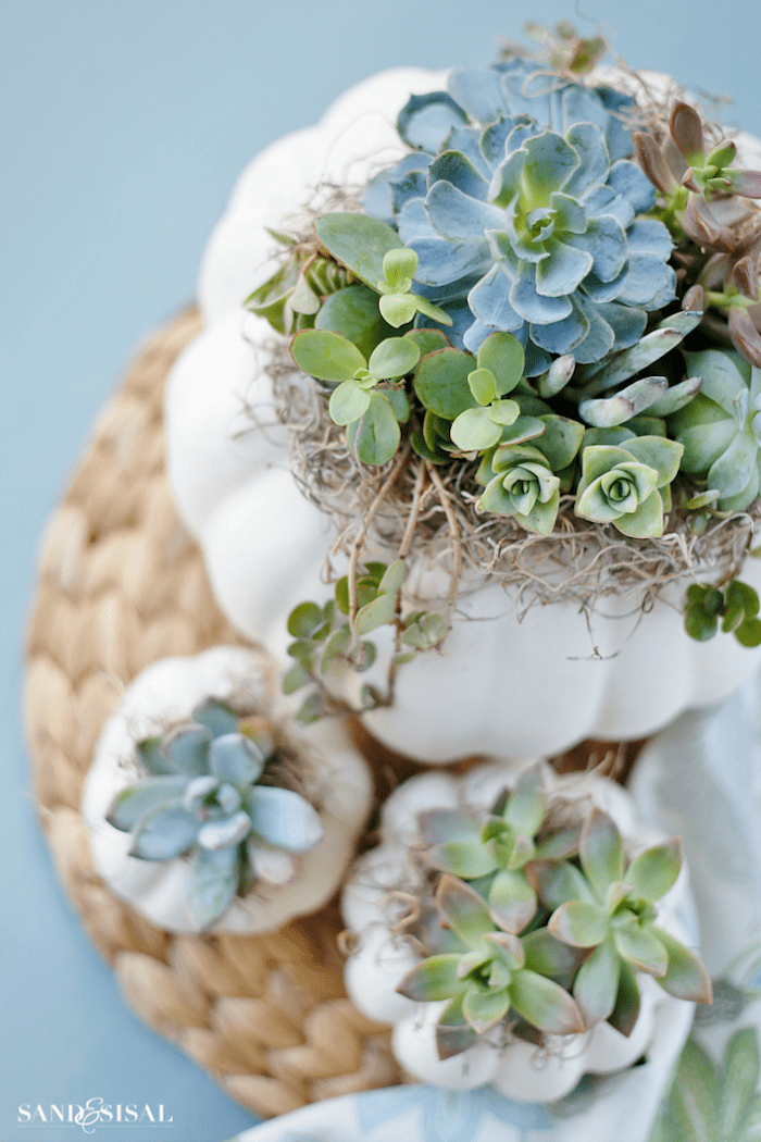 white pumpkins filled with succulents