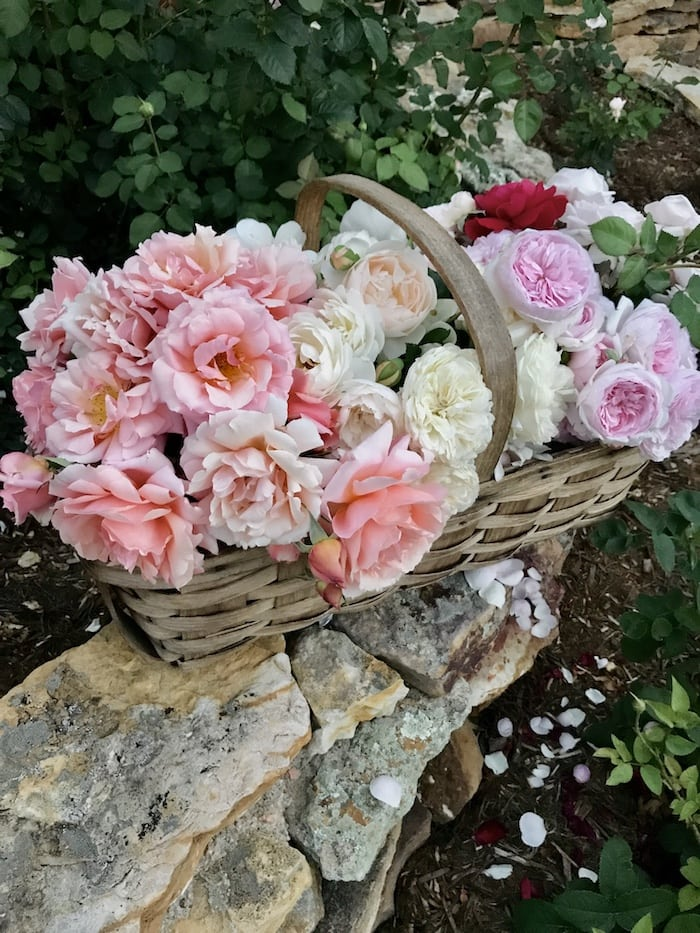 David Austin roses French style home