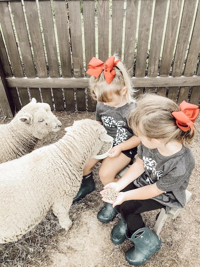 feeding sheep at Maison de Mings French farmhouse