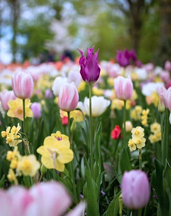 tulip and daffodil garden with multiple colors of flowers