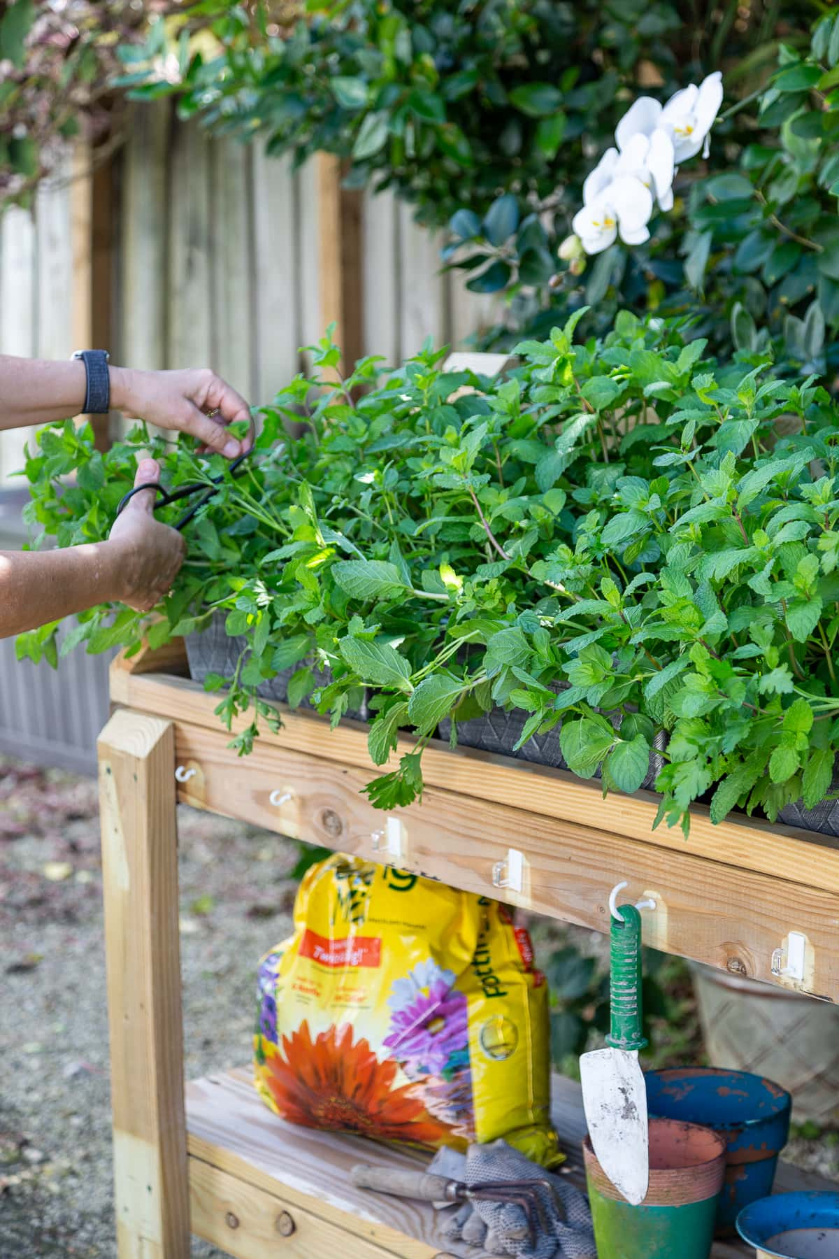 clipping herbs from a rolling potting bench